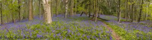blue bells in bloom